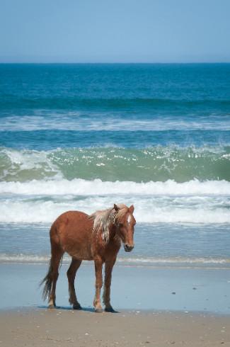 Wild Card Wednesday - Wild Horses of Corolla, NC