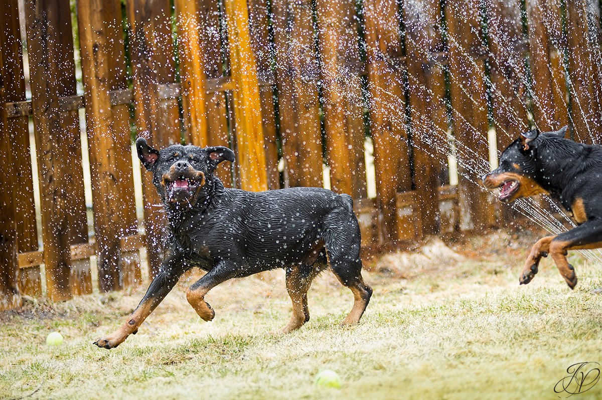rottweiler playing in water, rottweiler portrait albany, beautiful rottweiler photos, albany pet portrait, albany pet photographer