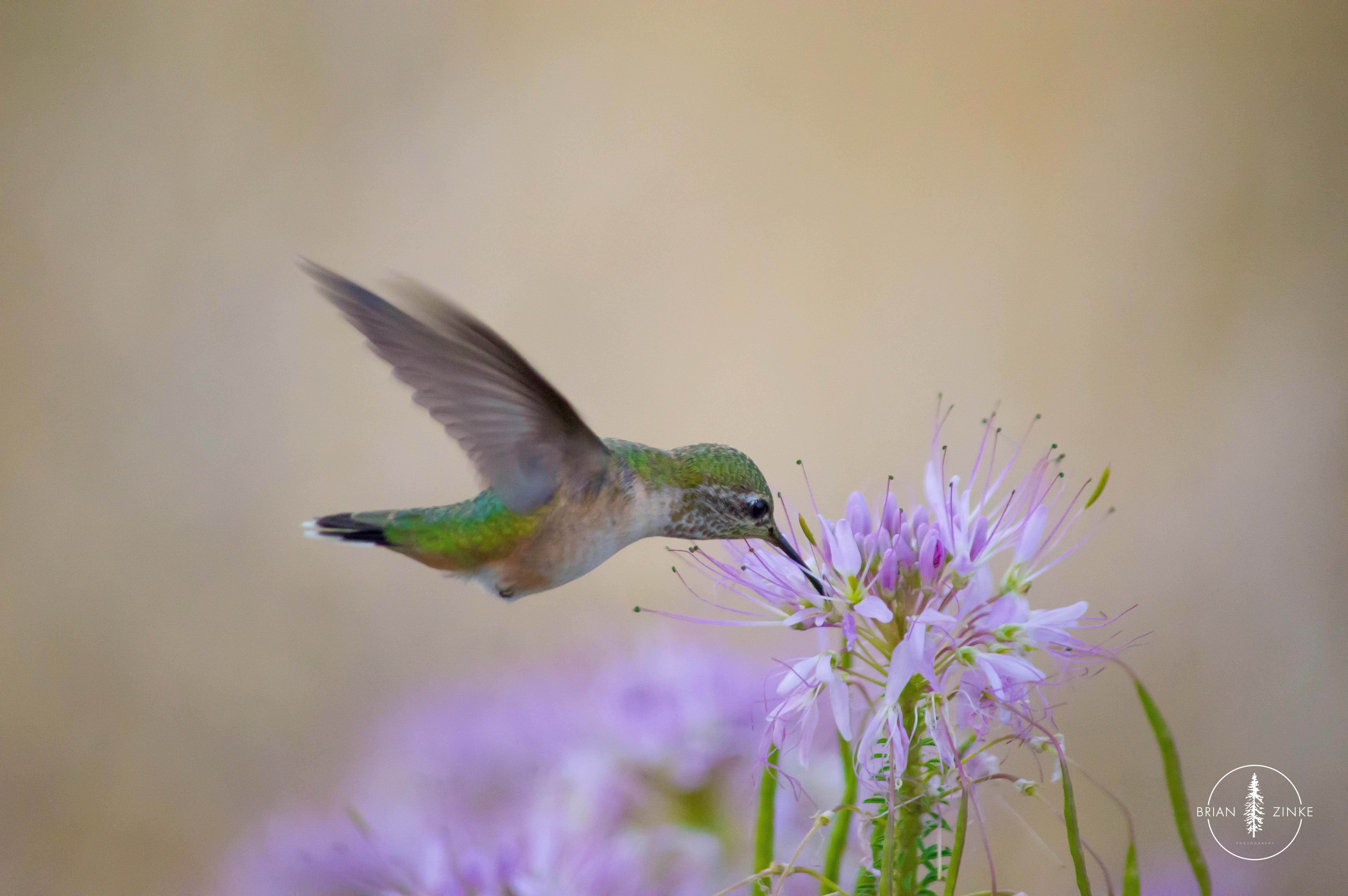 Broad-tailed Hummingbird, Green River campground, Dinosaur National Monument, Vernal, Utah