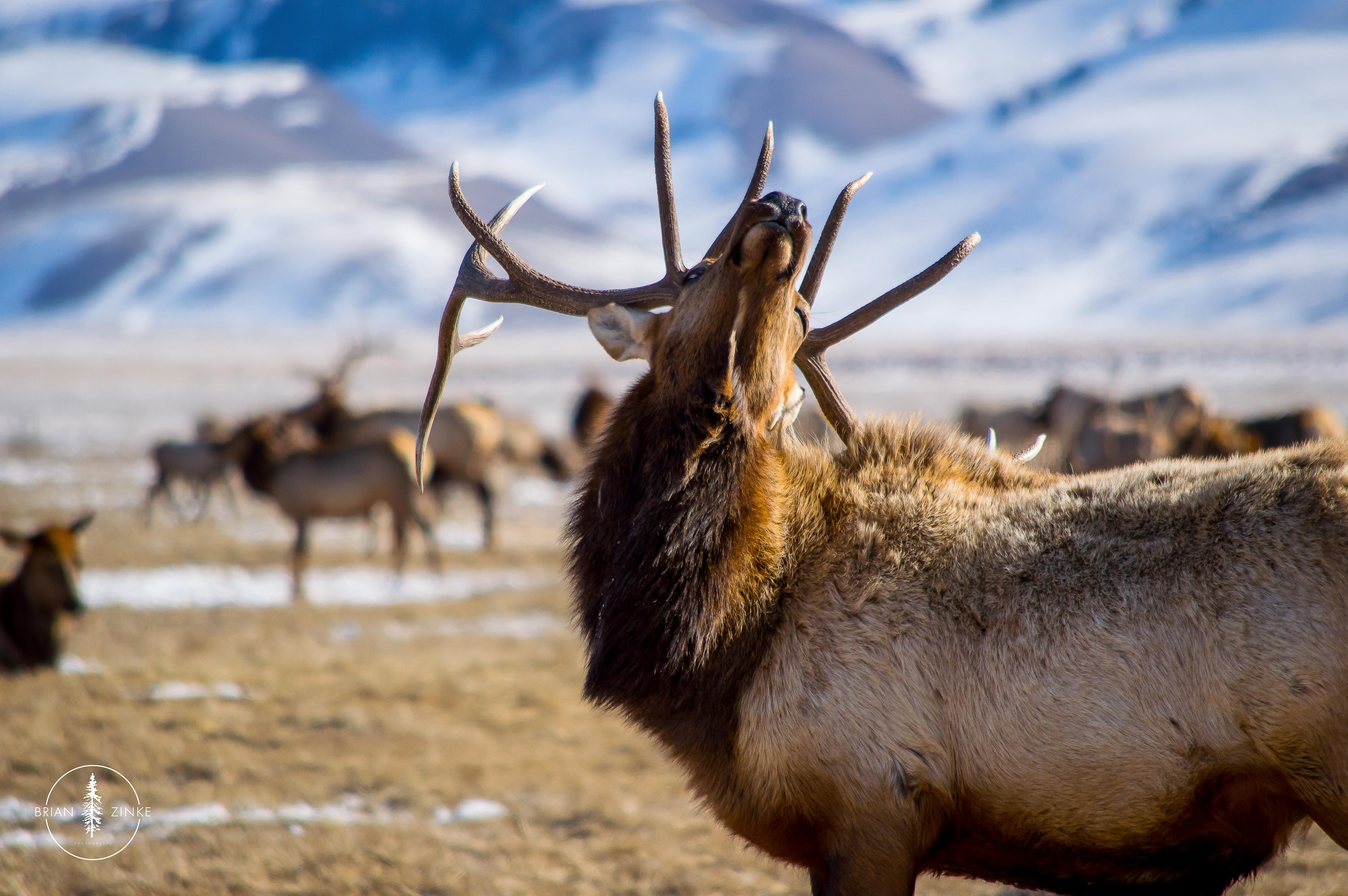 National Elk Refuge, Jackson, Wyoming, Grand Tetons, Brian Zinke Photography
